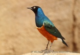 Снимки на Superb Starling, Lamprotornis superbus